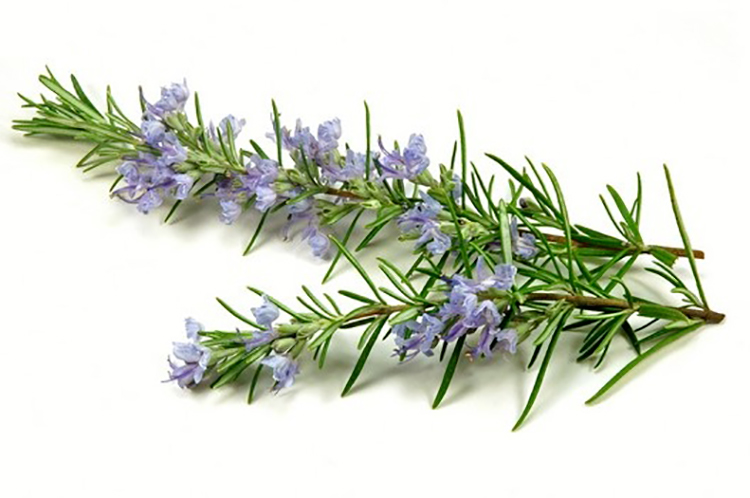 digestive stimulant+stomach acid secretion+properties of Rosemary+Rosemary